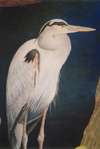 Great Blue Heron I
